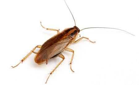 Рыжий таракан (прусак) - фото