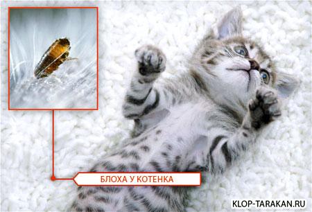 Блохи у кошек - фото